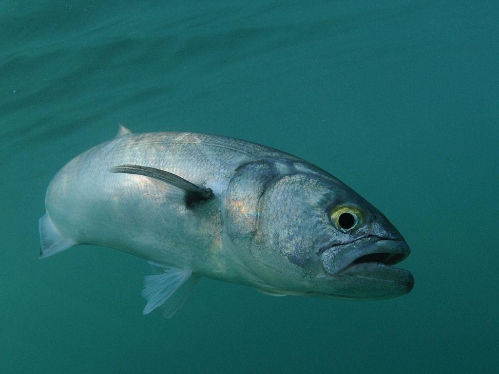 Bluefish fly fishing