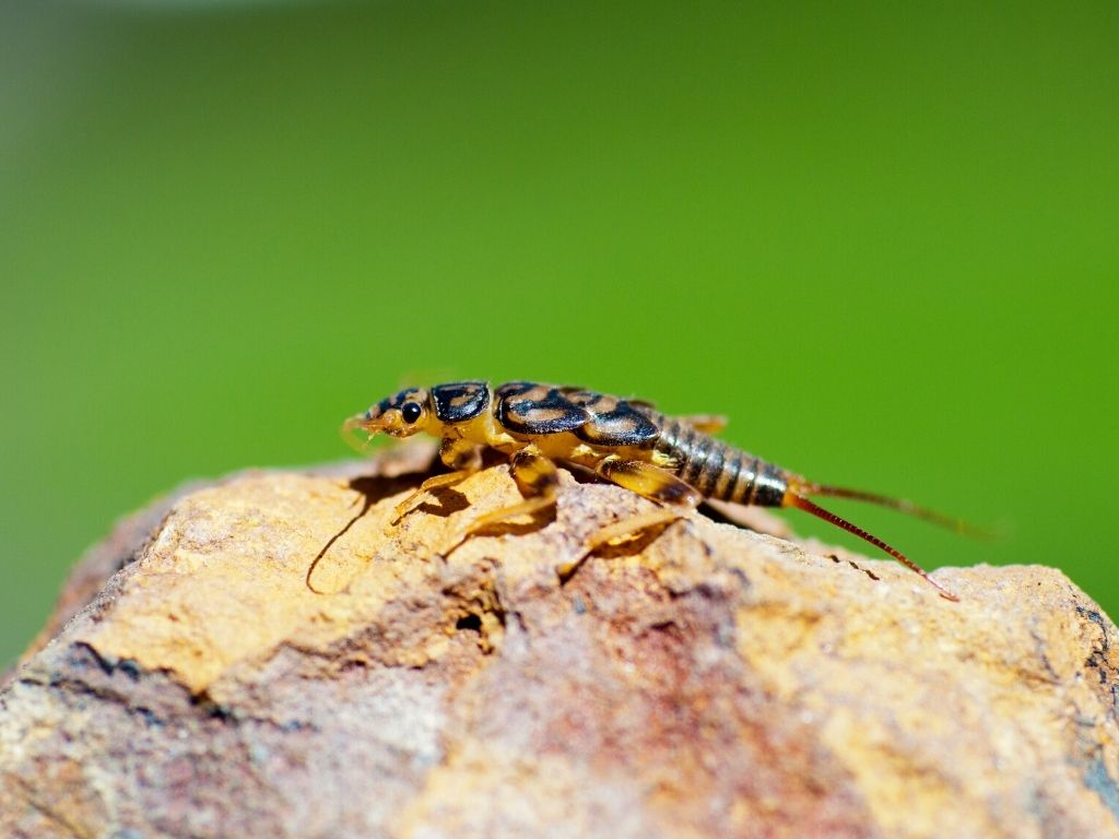 a nymph fly on a rock