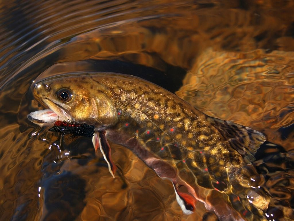 brook trout fly fishing in Pennsylvania