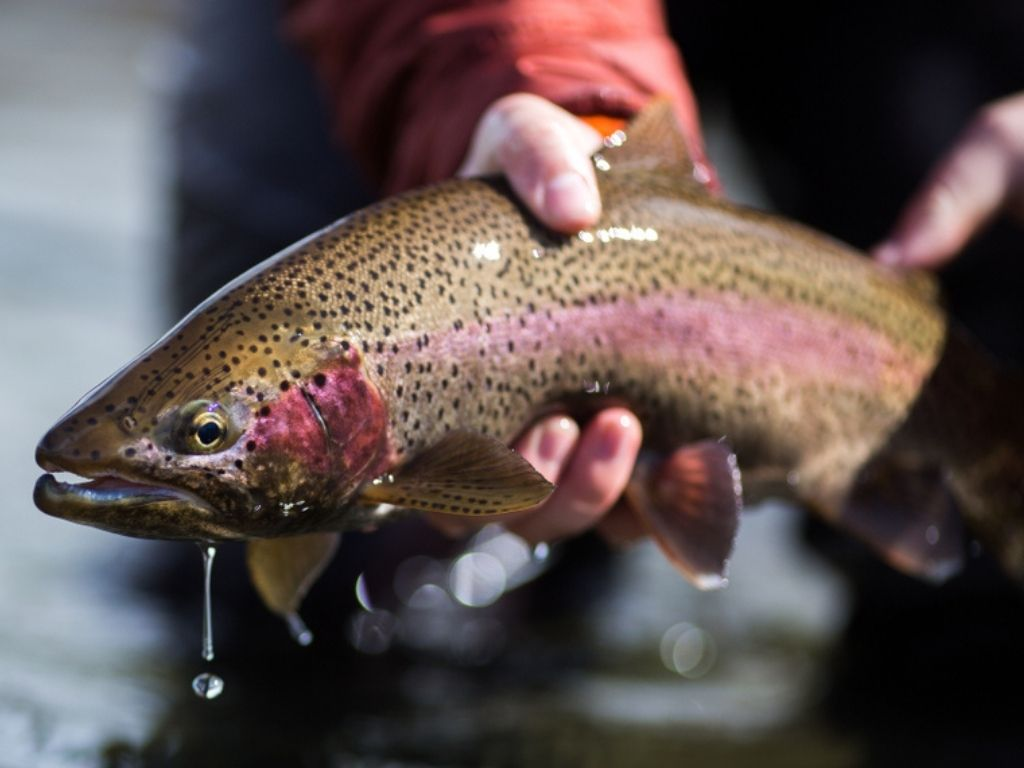 fly fishing rainbow trout