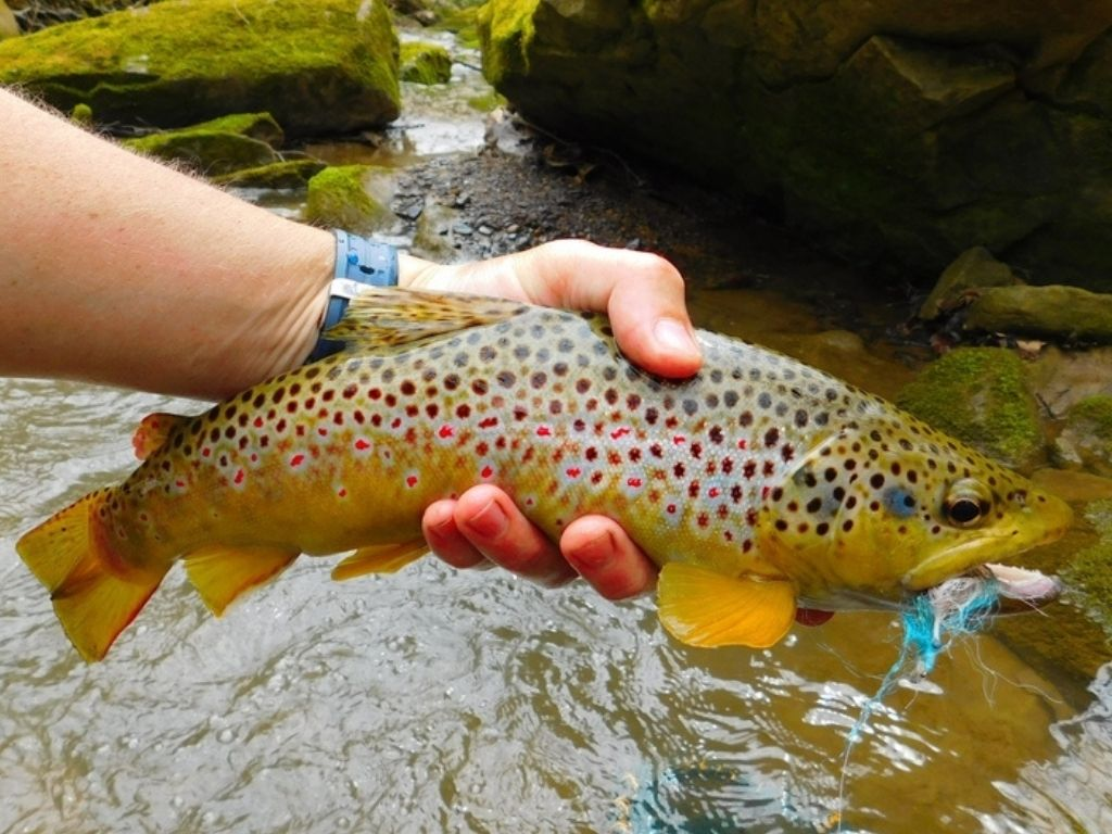 wild brown trout caught by an angler from fly fishing in Pennsylvania