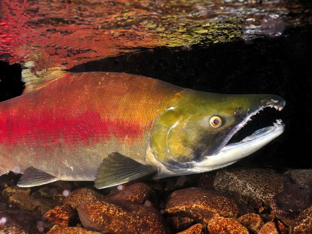 fly fishing sockeye salmon