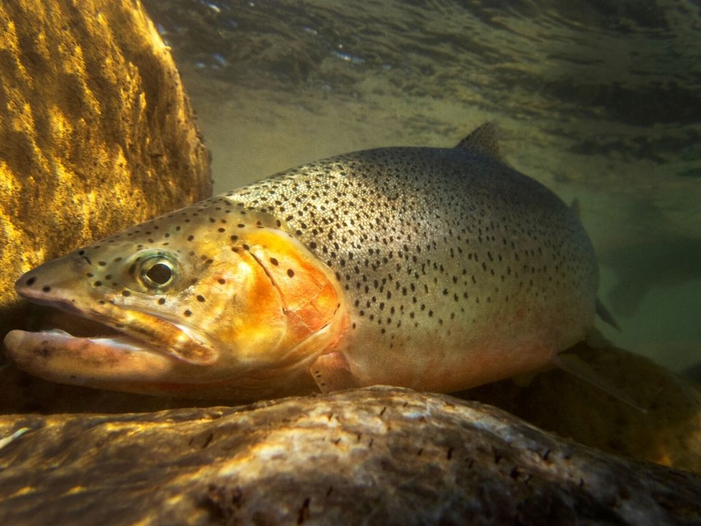 fly fishing cutthroat trout